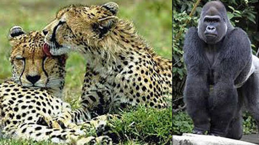 L-R : Cheetahs grooming each other ; The mighty Silverback