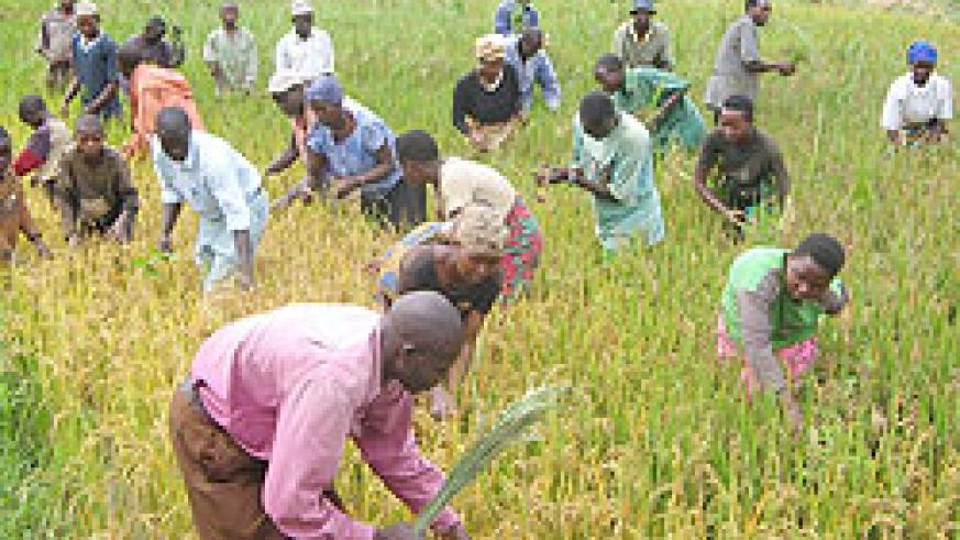 Residents of  Kibungo working a rice paddy. (File photo)