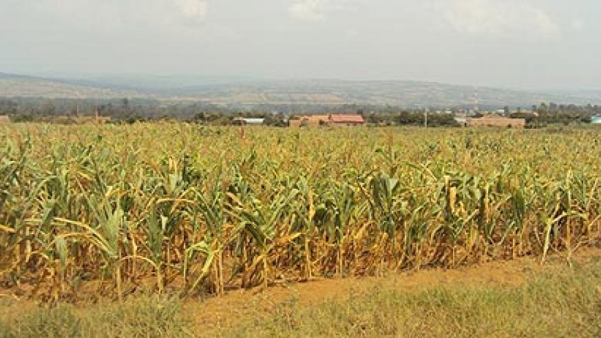 Hectares of Maize plantation have dried up in some sectors of  Nyagatare district.(Photo: Dan Ngabonziza)