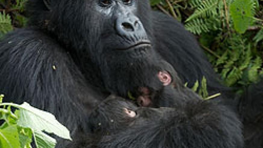 The Gorilla mother cuddling her new born twins (courtesy photo)