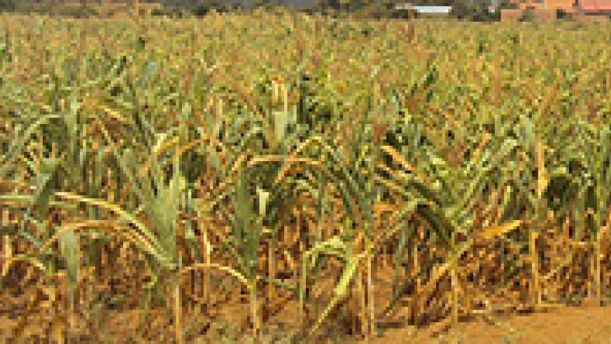 Hectares of Maize plantations have been affected by the dry spell in Nyagatare and Gatsibo districts. (Photo D. Ngabonziza)
