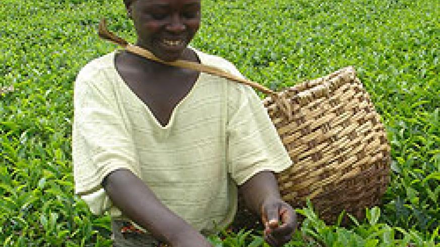 One of the tea plantations in the country. Cabinet recently approved the takeover of Gisovu Tea (File Photo)