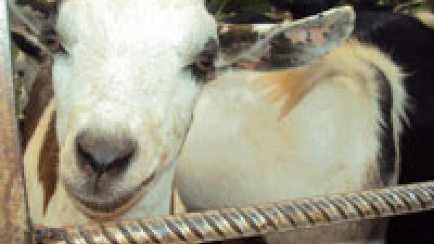 Goats have been used to fight poverty in rural areas. File photo