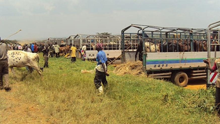 A herd of  cows being loaded from a local market enroute  to DRC.(Photo.D Ngabonziza)