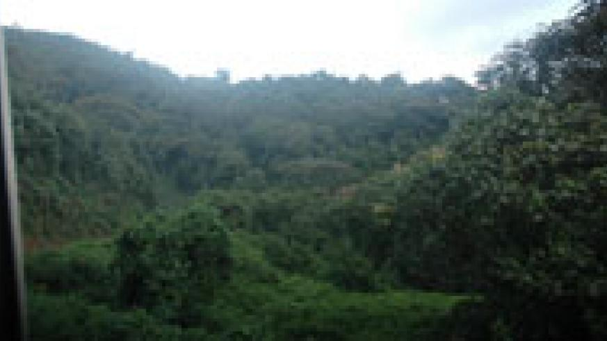 Nyungwe, the largest forest in the country. Government has stepped up efforts to conserve forests (File Photo)