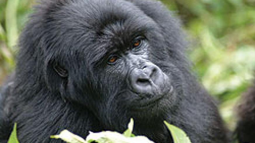 Mountain gorillas have been a major tourist attraction (File Photo)