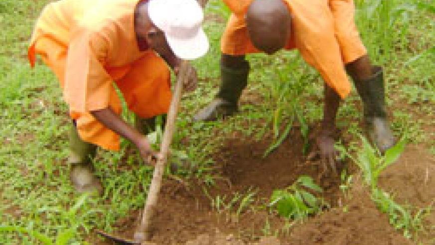 Prisoners engage in tree planting. (File photo)