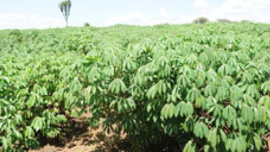 An RDF Cassava field in Bugesera. The army  expects a major harvest (File Photo).