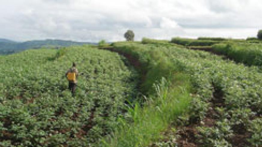 A  farmer spraying his  potatoe farm. weather information from the meteorology  agency will boost the sector (File Photo)