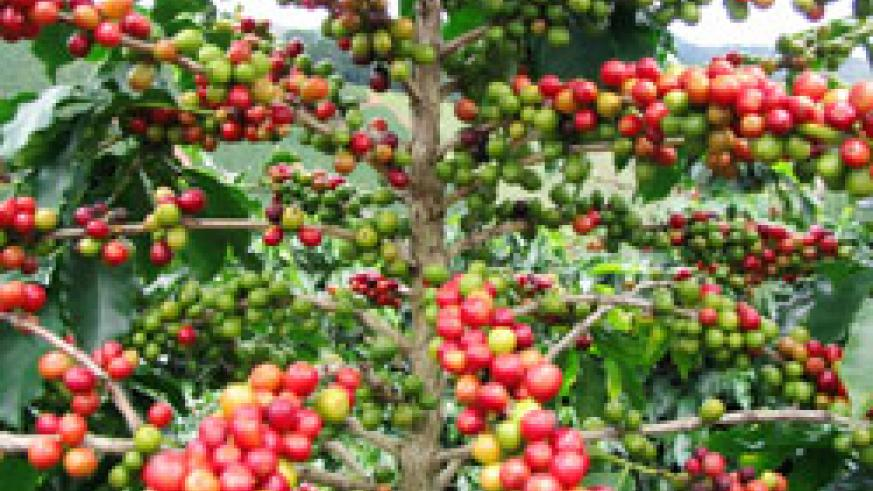 High coffee prices on the international market booste exports ( File Photo)