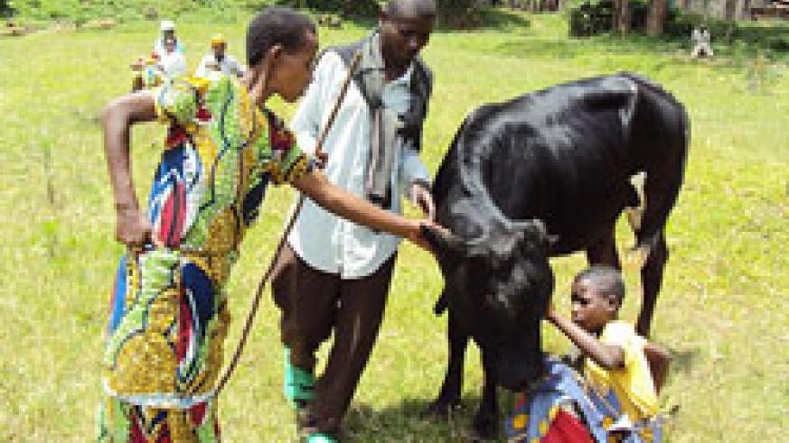 One of the beneficiaries receives her cow. (Courtesy photo).