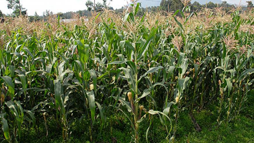 A maize plantation in the Eastern Province. Farmers in the area are set to benefit from a new credit facility (File Photo)