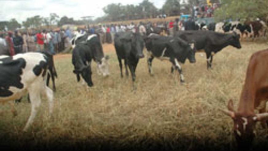 Goodwill; Nyaruguru residents boosted the government programme by contributing 150 cows to their neighbours (File Photo).