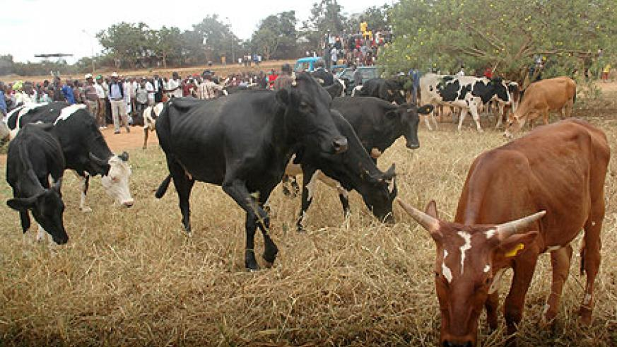 Onlookers during a past Girinka programme; Hundreds of thousands of cows have been given out under the uniquepoverty alleviation programme (File Photo)