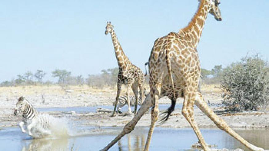 Action at the Watering Hole Etosha National Park Namibia. (Net photo)