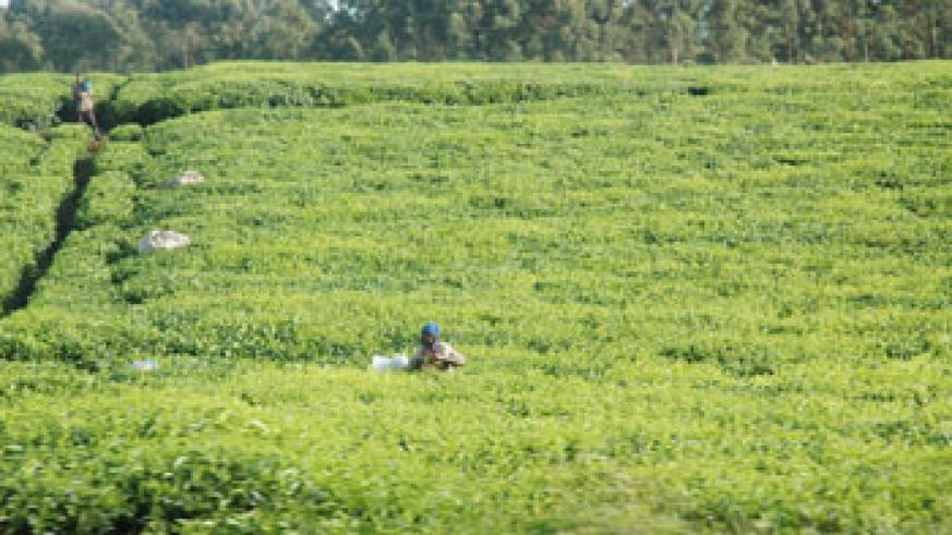 A tea picker in one of the sprawling farms in rural Rwanda. The Rwanda Tea Industry is eyeing the African market. (File Photo)