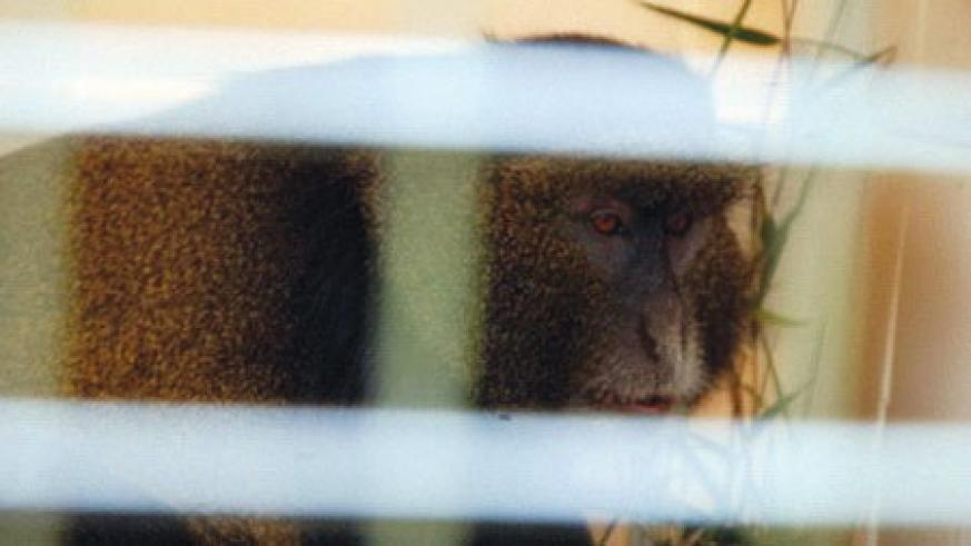 The golden monkey inside a dog crate after being rescued.