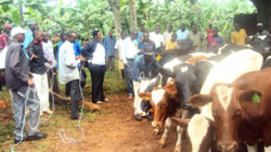 Beneficiaries in Nkamba village take home cows donated by BPR. (Photo S. Rwembeho)