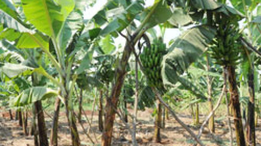 The banana crop is grown on a large scale in Rwanda (File Photo)