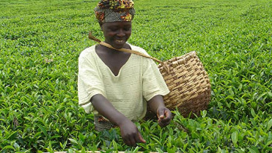 Tea farmers will benefit from the new prices. (File Photo)