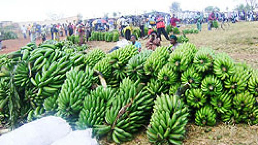 Banana production in the Eastern province will be affected by the disease. (Courtesy photo)