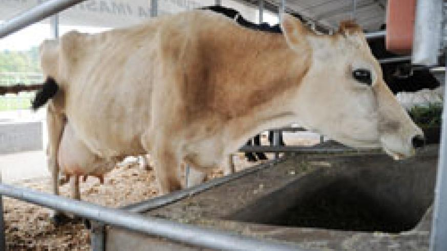 A cow in display during the last Agricultural Expo; Government has imported bulls as a way of enhancing the quality of animal husbandry (File Photo)