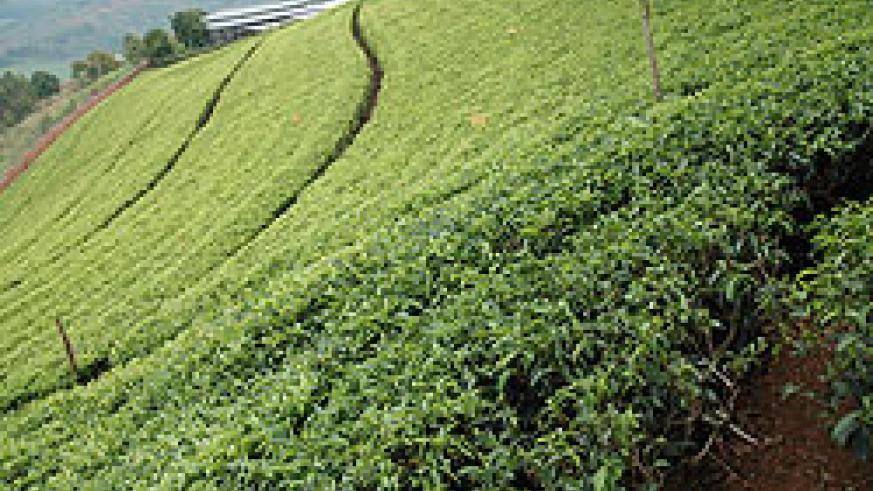 Two Rwandan tea companies have scooped Continental quality award (file photo)