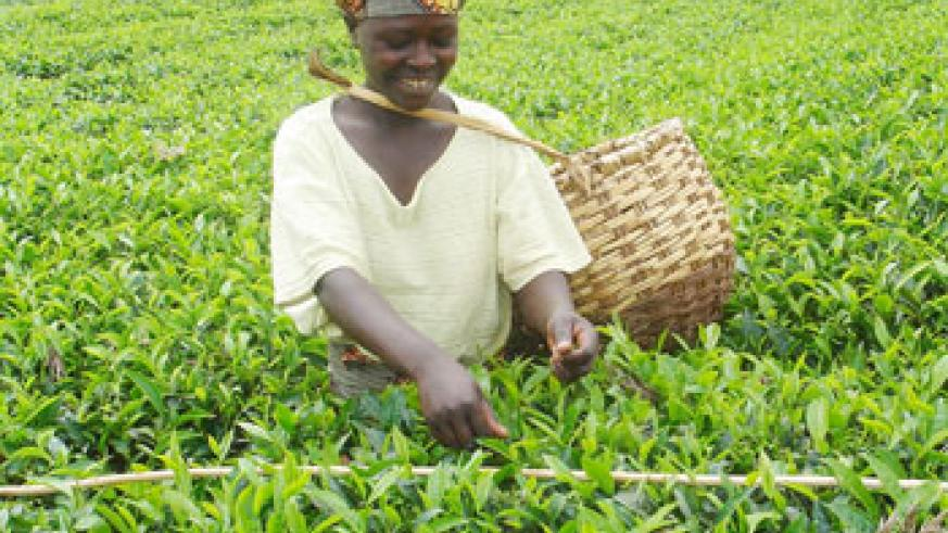 Two Rwandan tea companies have scooped a continental quality award (File Photo)