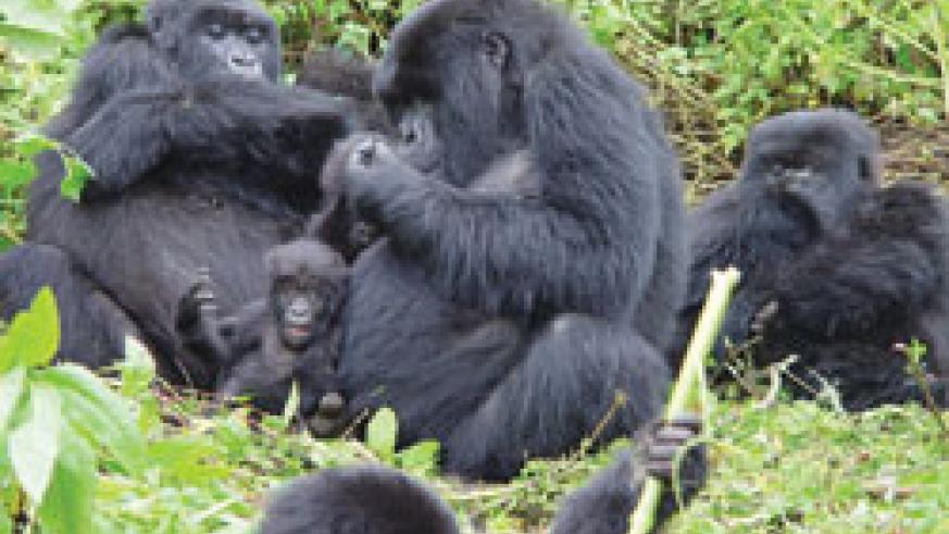 A family of Gorillas in Virunga. Governement on Saturday facilitated the repatriation of six gorillas to the DRC (file photo)