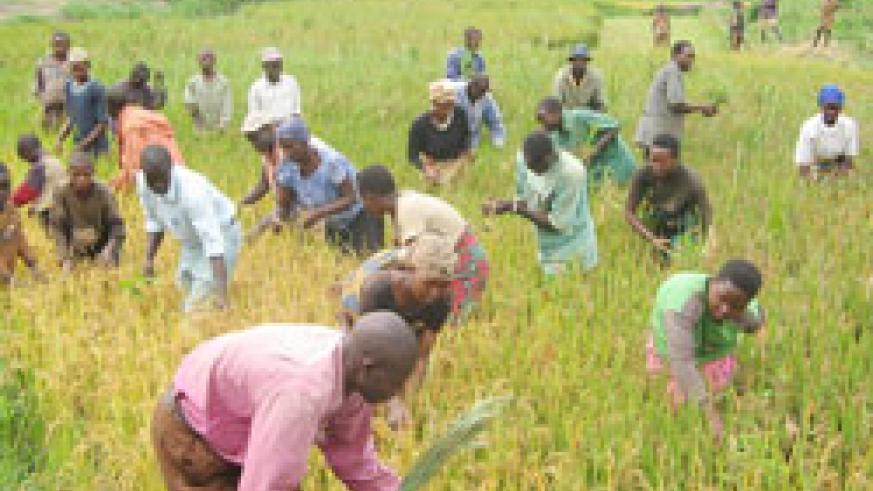 Farmers harvest rice. Rwanda is tipped to be one of the main exporters of rice after the implementation of RSSP III. The New Times / File.