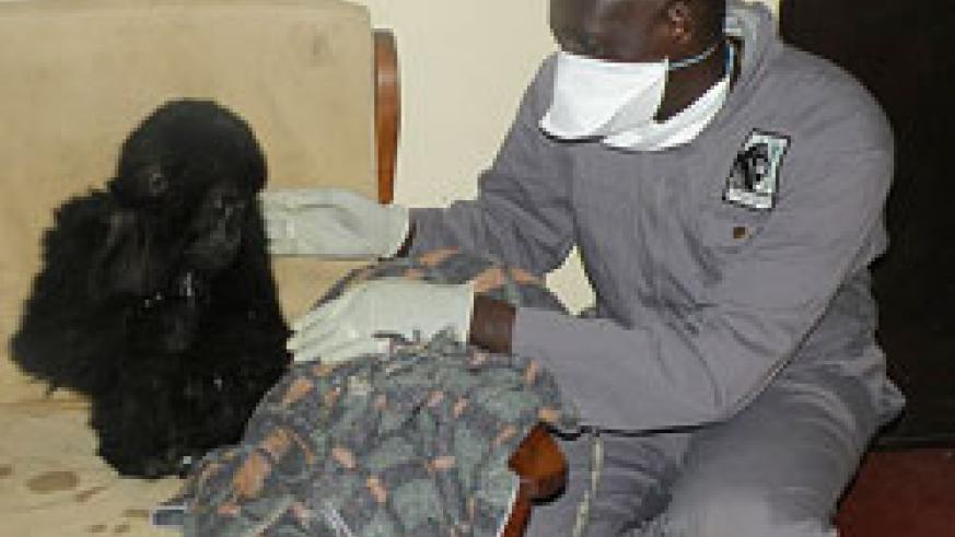 RESCUED; Dr.Jean Felix Kinani attends to the rescued baby gorilla. The New Times /Bonny Mukombozi.
