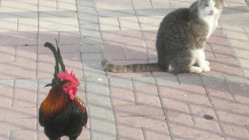 Roosters are afraid of cats. Net photo