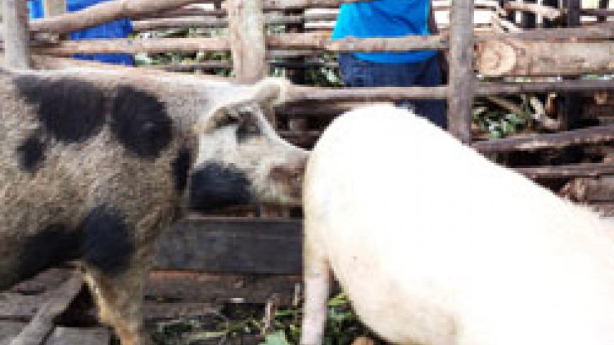 The prefered black and white pigs on a rural farm in Rwamagana. The New Times /S. Rwembeho