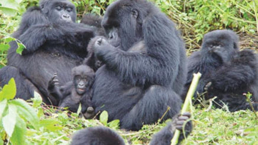 Tourists are increasingly choosing to visit to Rwanda to have a glimpse of the rare gorillas. The New Times /File.