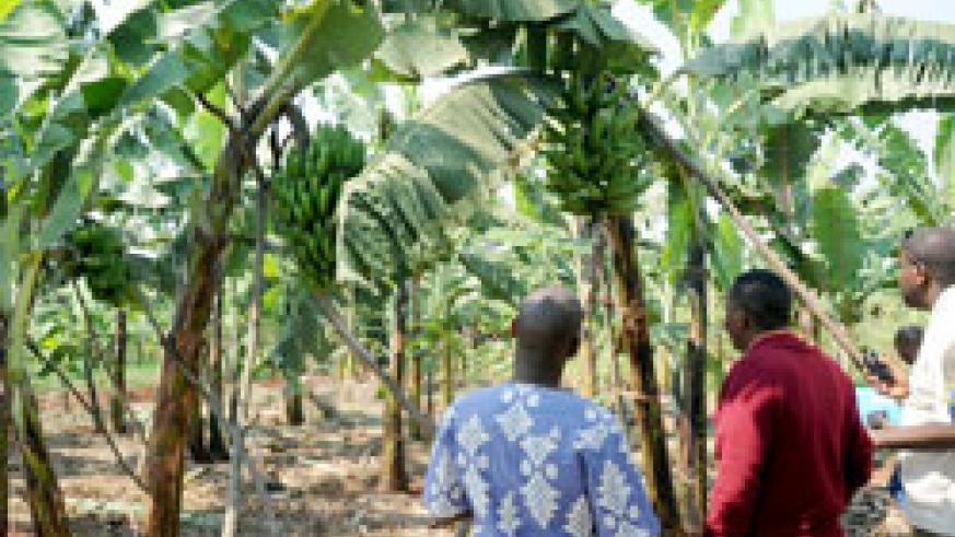 A banana plantation in Rwamagana District. The district is gearing up towards self sufficiency in food production. The New Times /File.