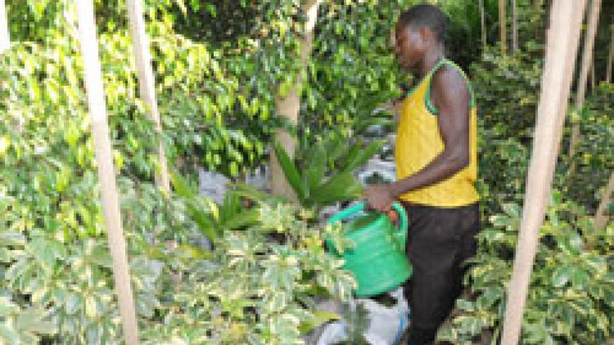 A gardener waters trees in a nursery in Gacuriro, Gasabo District. The district aims to plant 500,000 trees this fiscal year. The New Times /File.