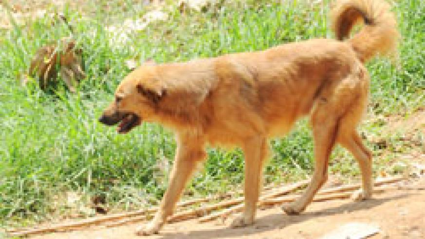 An escalating stray dog menace has created anxiety among Kimironko residents. The New Times /File.