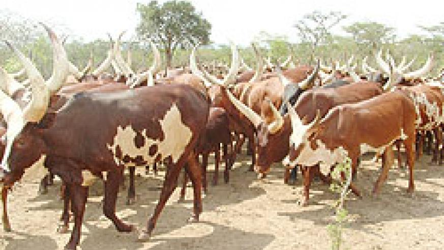Cattle ruslers were arrested in Nyagatare district as they attempted to sneak the animals into Rwanda from Tanzania.