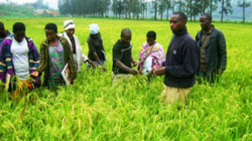 A plan to significantly increase rice production in the country will see the country self sufficient by 2018. The New Times /File.