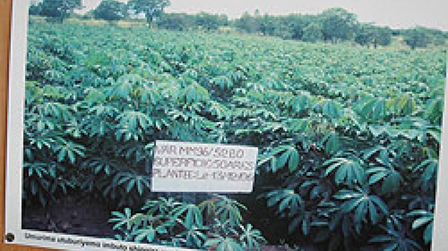 Cassava farmers in the Eastern Province have projected higher yields following the training in modern methods of farming. The New Times File.