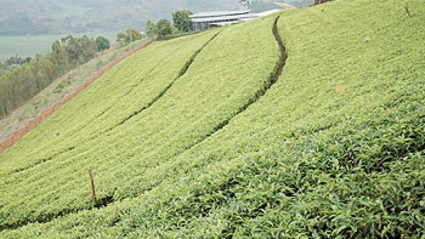 Rwanda expects a rise in tea exports this year. The New Times / File photo
