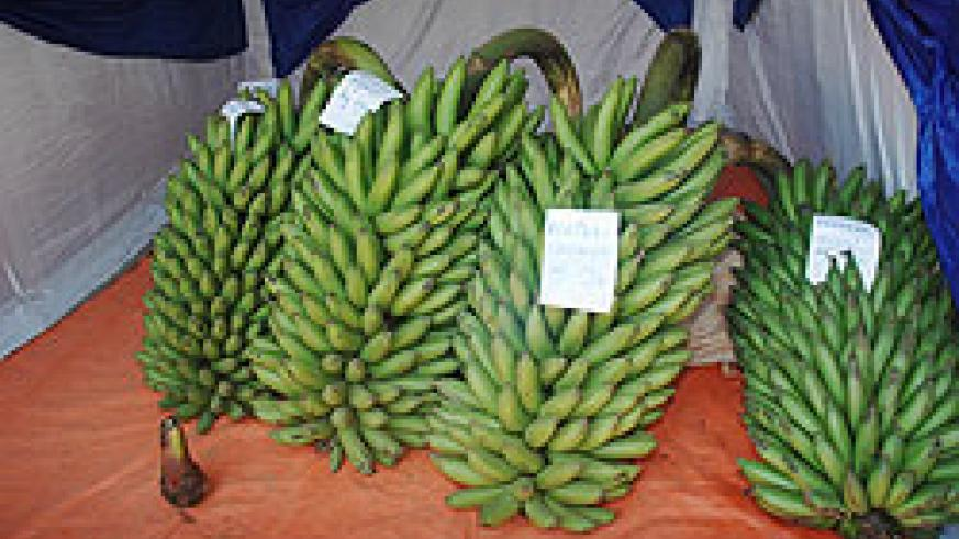 Bunches of banana ready for export.  High transportation costs are affecting the business.
