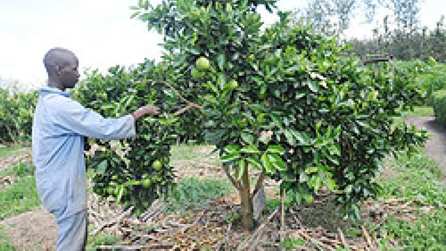 A farmer works on a fruit farm; MINAGRI has urged upscale commercial markets to buy produce from farmers. The New Times/ File photo