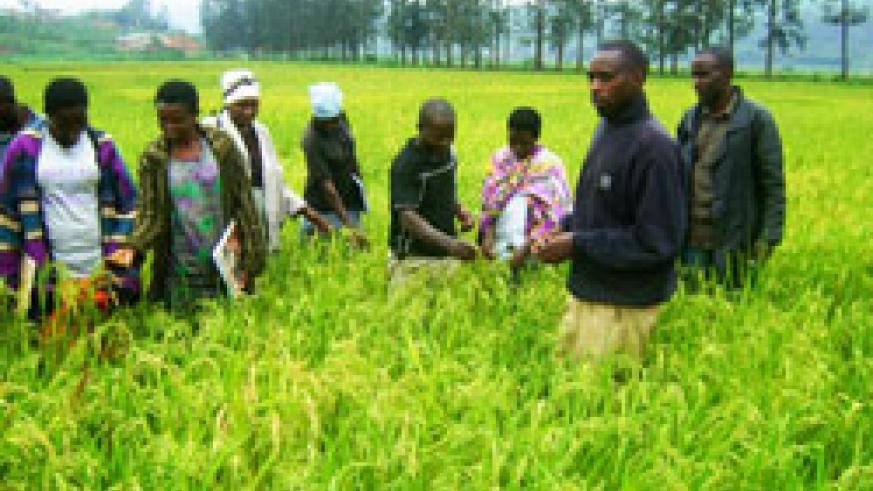 Rice farming in the Eastern Province has turned out to be a lucrative trade. The New Times/ File photo