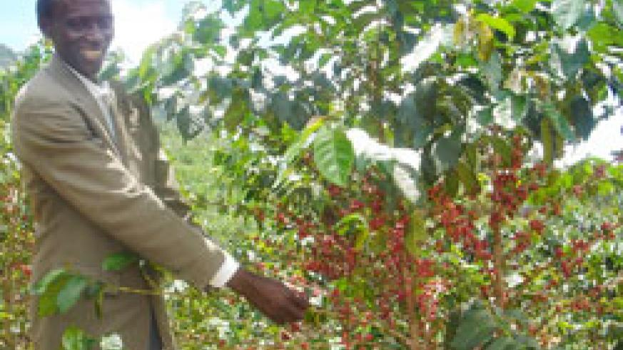 A farmer picks coffee beans. The New Time / File