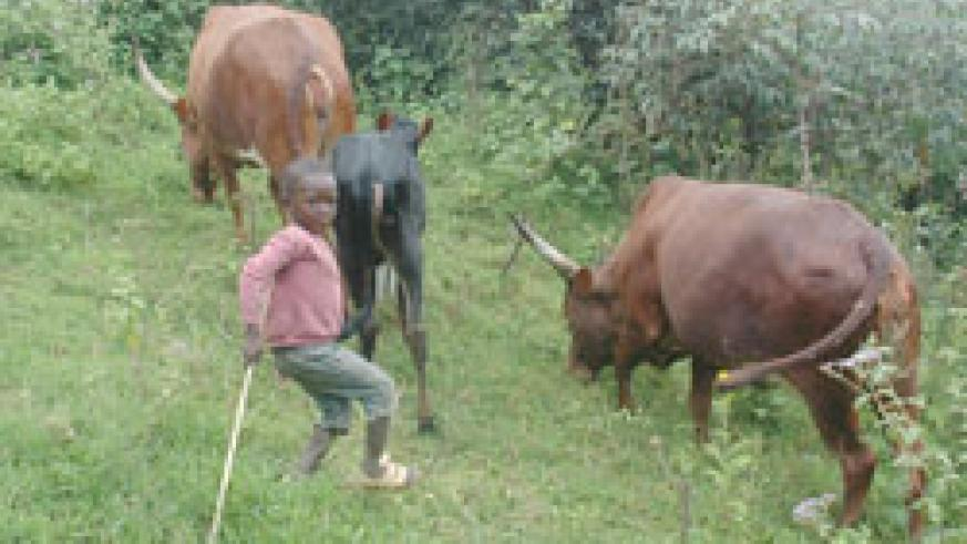A young boy herds family cows. Parents and guardians in Nyamasheke District have been cautioned against child labour. The New Times, / File.