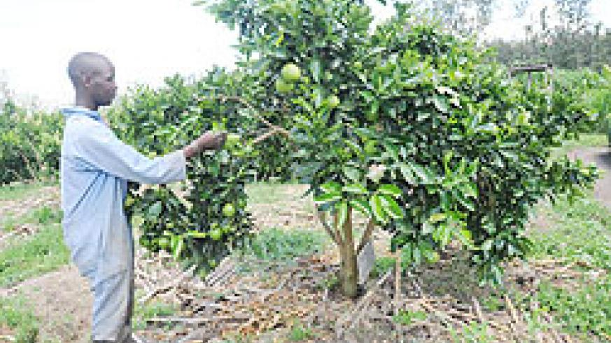 A man harvests oranges in his farm. Farmers have been urged to use their produce to boost nutrition .