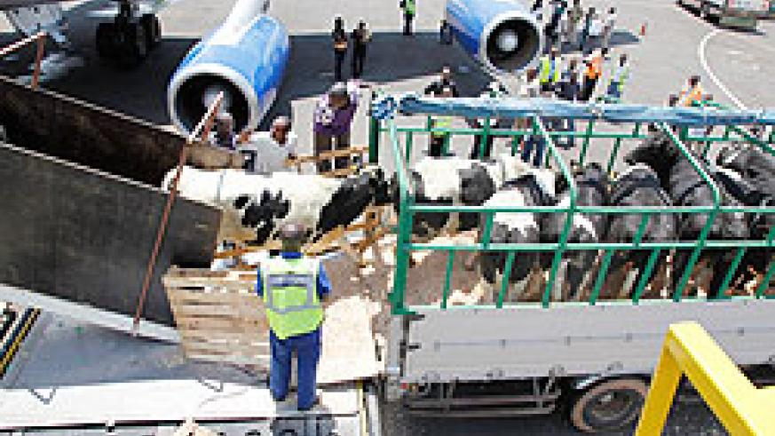 Off loading the cows at the airport
