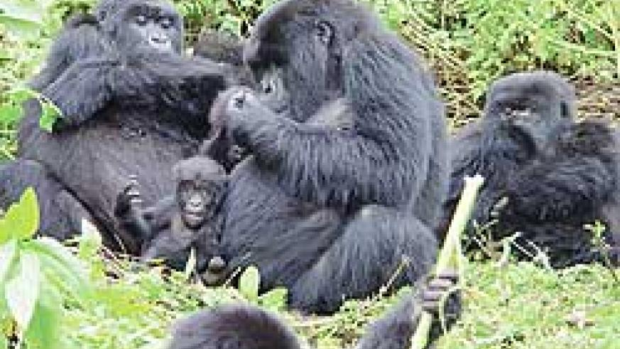 Gorillas in Virunga National Park. An expert has said they are safe from Tuesday's eruption of Nyamuragira Volcano. The New Times / File.