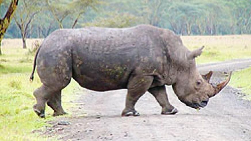 Rhinos will  be some of the animals to be imported .  Net photo